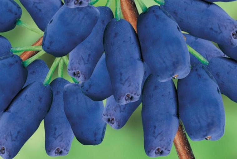 38. Jagoda kamczacka - moc witamin prosto z krzewu